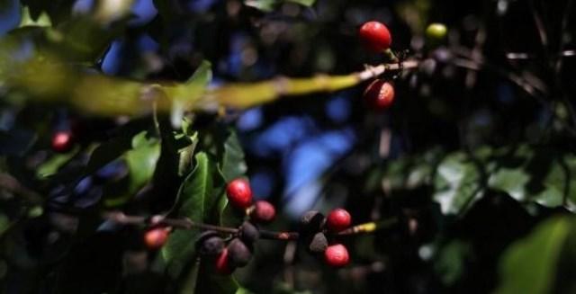 TT cà phê ngày 27/9: Giá lấy lại mốc 32.600 – 33.600 đồng/kg