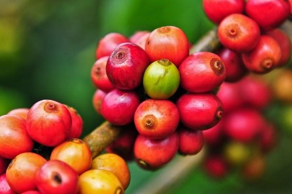TT cà phê ngày 17/02: Giá cao nhất chốt ở 31.700 đồng/kg tại Đắk Lắk