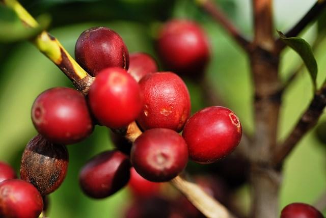 TT cà phê ngày 20/01: Giá hồi phục nhẹ 100 đồng/kg