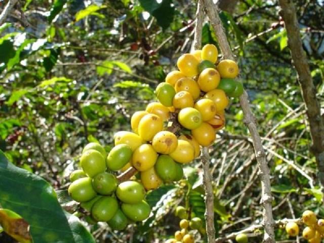 TT cà phê ngày 02/02: Giá trong nước đồng loạt tăng 300 đồng/kg