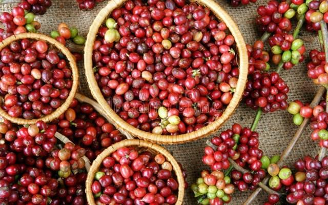 TT cà phê tuần 6 (08/02 – 13/02): Giá trong nước tăng nhẹ 100 đồng/kg