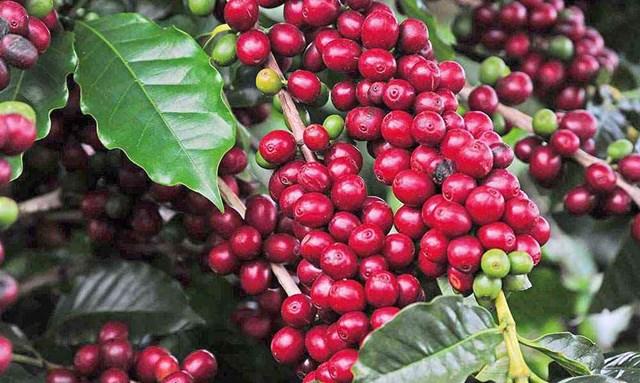 Giá cà phê tuần 32 (09/8 – 14/8): Tuần tăng khá cả ở trong nước và thế giới