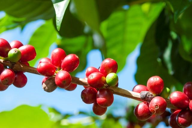 Dự báo giá cà phê sẽ duy trì ở mức cao trong thời gian tới