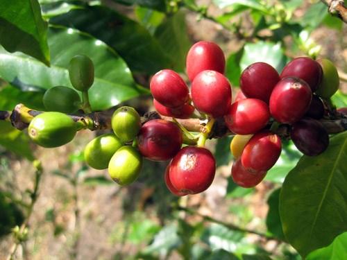 TT cà phê ngày 09/3: Giá giảm nhẹ 100 đồng/kg tại các vùng nguyên liệu Tây Nguyên