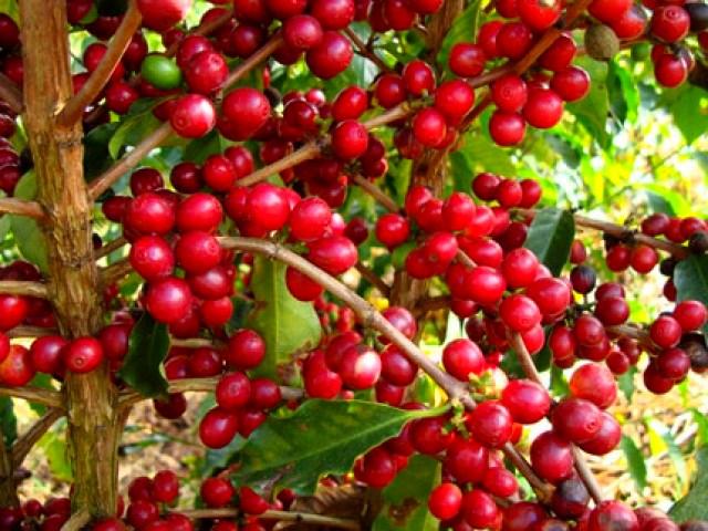 TT cà phê ngày 11/3: Giá ở quanh mức 32.000 – 32.800 đồng/kg