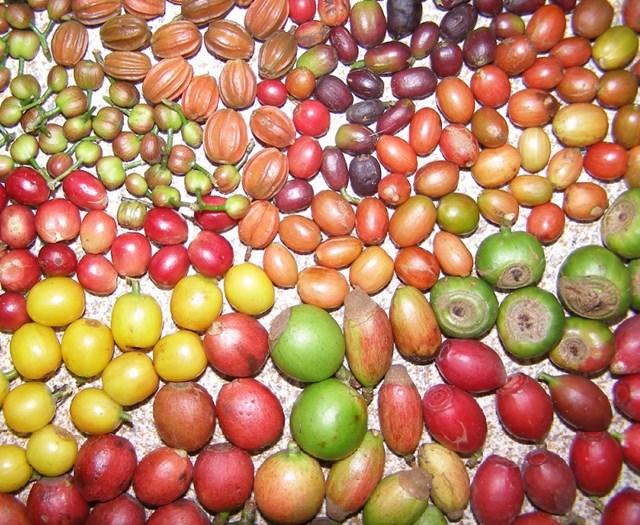 TT cà phê ngày 10/3: Giá bất ngờ tăng mạnh 1.000 đồng/kg trên khắp vùng nguyên liệu