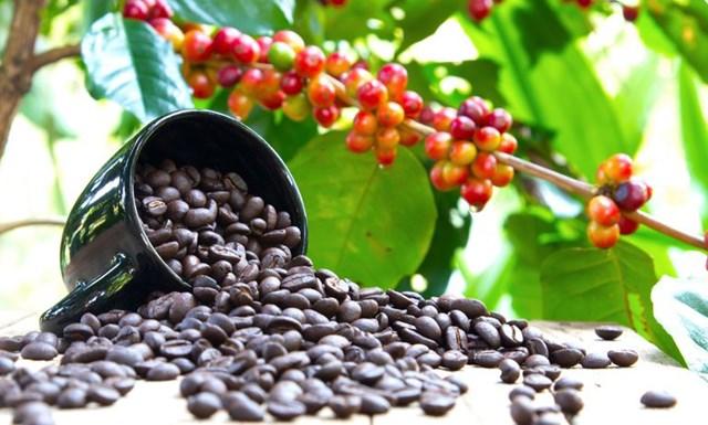 TT cà phê tuần 9 (01/3 – 05/3): Giá trong nước và thế giới đều tăng so với tuần trước