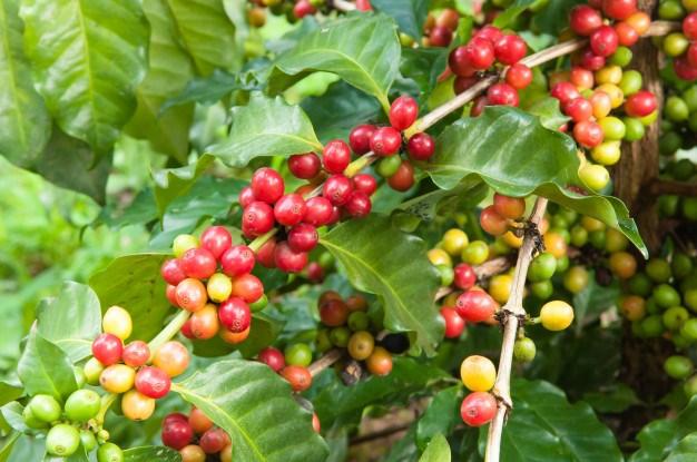 Thị trường nội địa đi ngang, hai sàn giao dịch cà phê thế giới biến động trái chiều