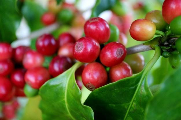 TT cà phê ngày 12/3: Giá tăng thêm 200 đồng tại các vùng nguyên liệu trọng điểm