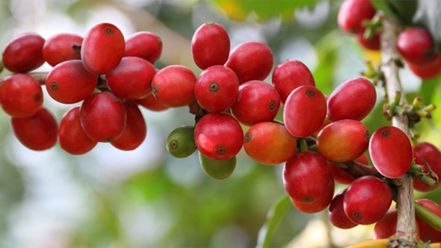 TT cà phê ngày 06/11: Giá đảo chiều hồi phục, chạm mức 33.000 đồng/kg