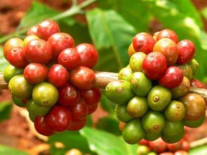 TT cà phê ngày 07/11: Giá tăng tiếp, chốt ở 32.700 – 33.000 đồng/kg