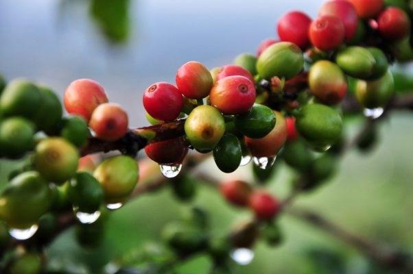 TT cà phê ngày 07/01: Giá giảm liên tiếp do tác động từ khủng hoảng địa chính trị