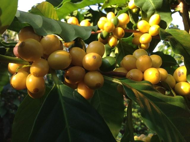 TT cà phê ngày 14/7: Giá chạm mốc 32.100 đồng/kg tại Đắk Lắk