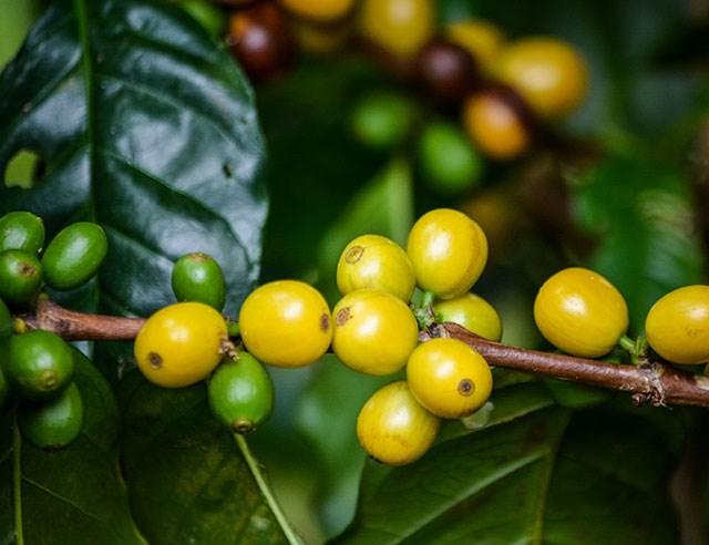 TT cà phê ngày 30/12: Giá không có dấu hiệu thay đổi