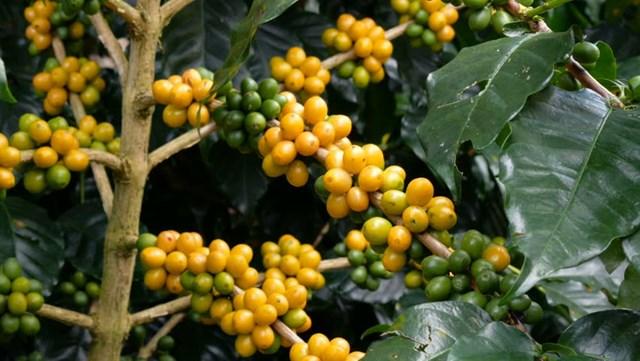 TT cà phê ngày 19/02: Giá quay đầu sụt giảm tới 400 đồng/kg