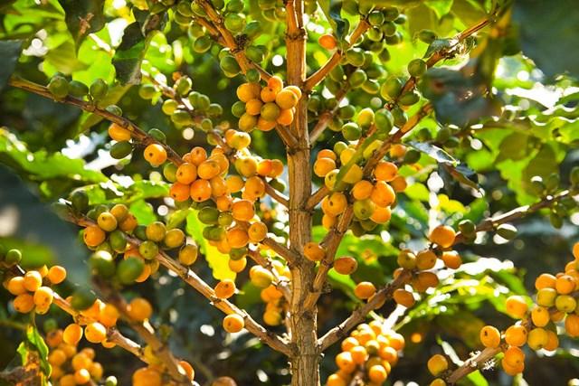 TT cà phê tháng 10/2020: Giá trong nước tăng mạnh hơn 1.000 đồng/kg