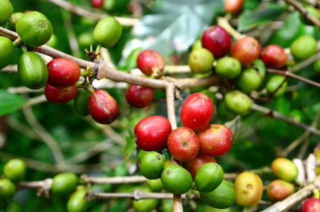 TT cà phê ngày 24/6: Giá đảo chiều giảm nhẹ 100 đồng/kg
