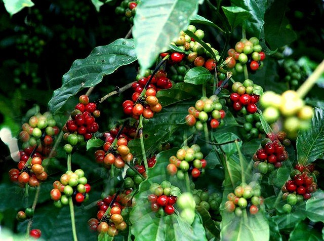TT cà phê ngày 28/02: Đảo chiều mất 100 đồng/kg sau 2 phiên tăng
