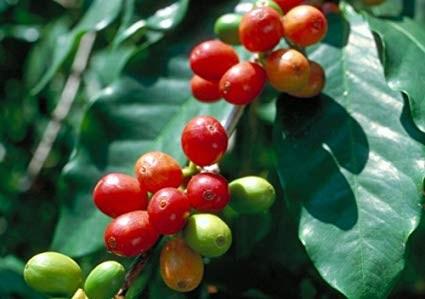 TT cà phê ngày 21/8: Giá giữ vững mức 32.500 – 33.000 đồng/kg