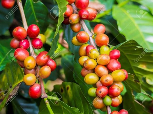 TT cà phê ngày 06/02: Giá một số tỉnh giảm nhẹ 100 đồng/kg