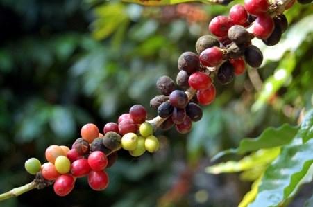 TT cà phê ngày 21/7: Giá tuột dốc sau phiên tăng mạnh cuối tuần