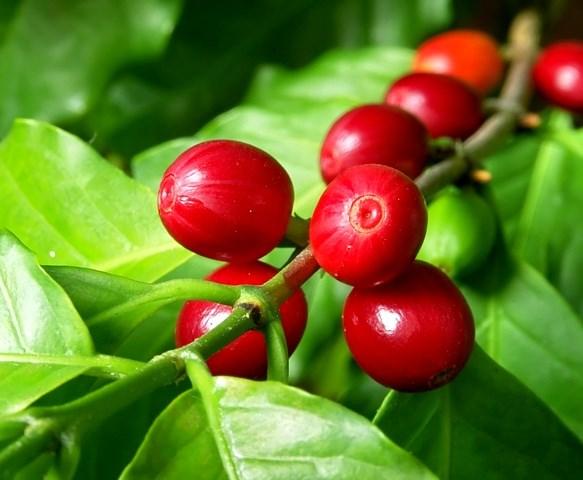 TT cà phê ngày 09/01: Giá lùi lại sau tin sản lượng và xuất khẩu thế giới tăng