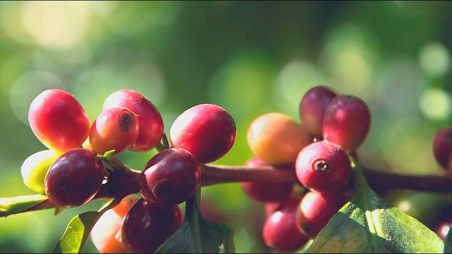 TT cà phê ngày 23/7: Giá robusta cao nhất gần 6 tháng