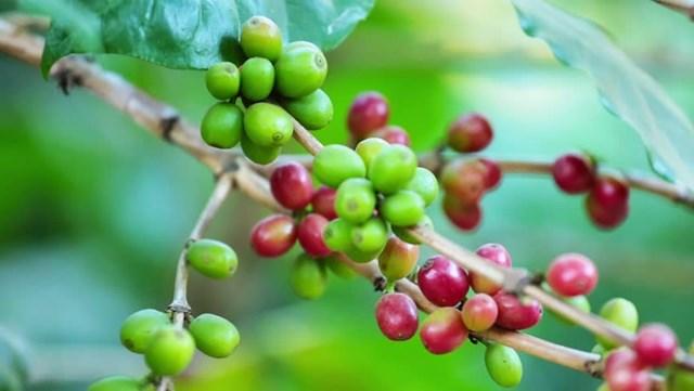 TT cà phê ngày 03/02: Giá lại chạm mốc 31.000 đồng/kg sau phiên tăng cuối tuần