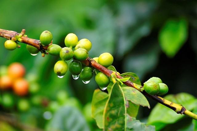 TT cà phê ngày 12/8: Giá tiếp tục sụt giảm tại các vùng nguyên liệu