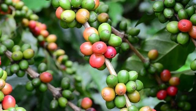 TT cà phê ngày 18/5 giữ vững mức giá cuối tuần ở 30.600 – 31.100 đồng/kg