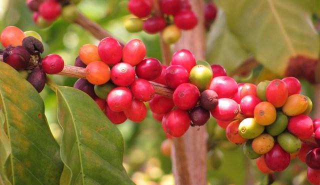Một năm đầy biến động với thị trường cà phê và triển vọng khả quan trong năm mới