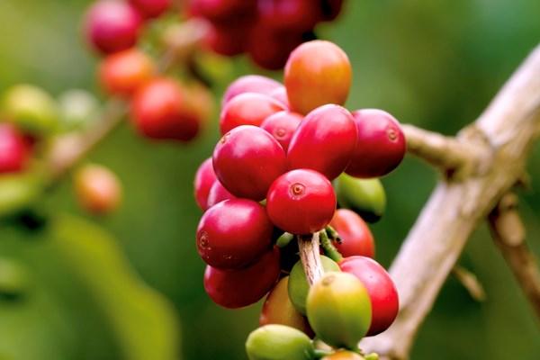 Giá cà phê có thể tiếp tục tăng do thời tiết xấu ở miền Trung, Tây Nguyên