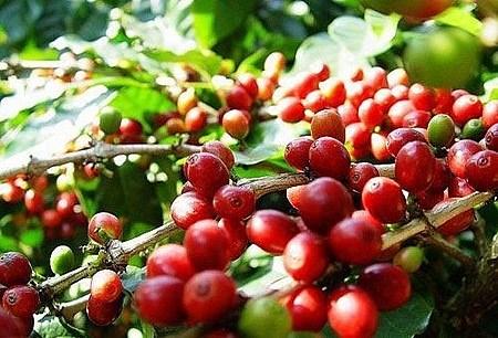 TT cà phê ngày 21/5: Giá giữ vững dưới mốc 31.200 đồng/kg