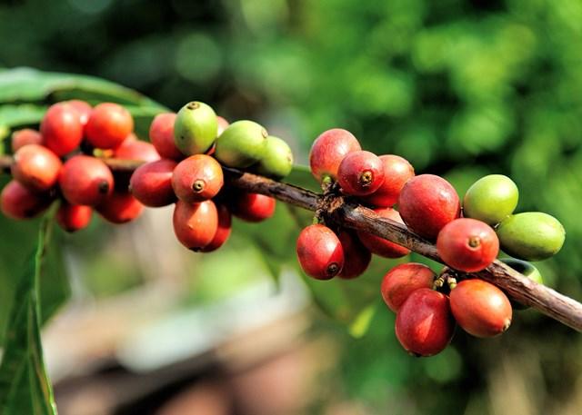 Giá cà phê hôm nay 12/10: Robusta lao dốc khi có tin mưa nhiều tại khu vực Tây Nguyên