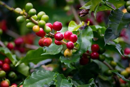 Giá cà phê hôm nay 14/10: Nỗi lo lạm phát và khủng hoảng năng lượng đã tác động mạnh lên thị trường