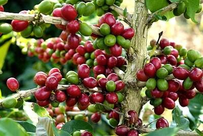Giá cà phê tuần 40 (04/10 – 09/10): Giao dịch trầm lắng do chưa bắt đầu thu hoạch vụ mới