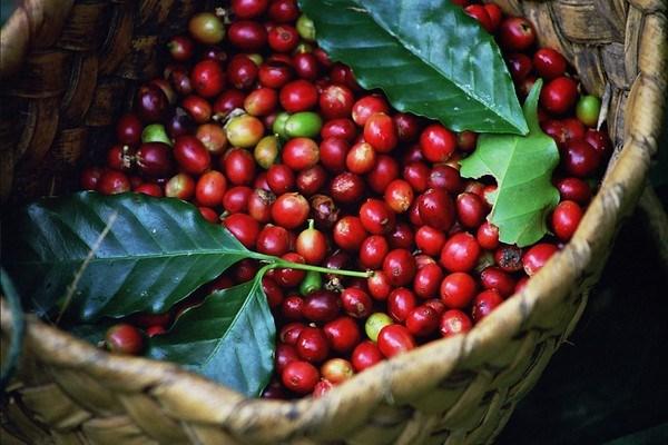 Nguồn cung cà phê toàn cầu chuyển thành dư thừa