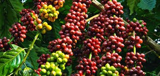 ICO: Xuất khẩu cà phê toàn cầu tăng 11% trong tháng 7