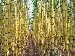 Sản lượng đường của Brazil tăng 42%, doanh số bán ethanol giảm
