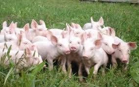 Giá lợn hơi 'rớt mạnh' do Trung Quốc hạn chế nhập khẩu