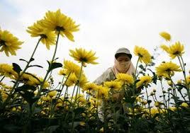 Giá hoa tươi tại làng hoa Tây Tựu tăng mạnh