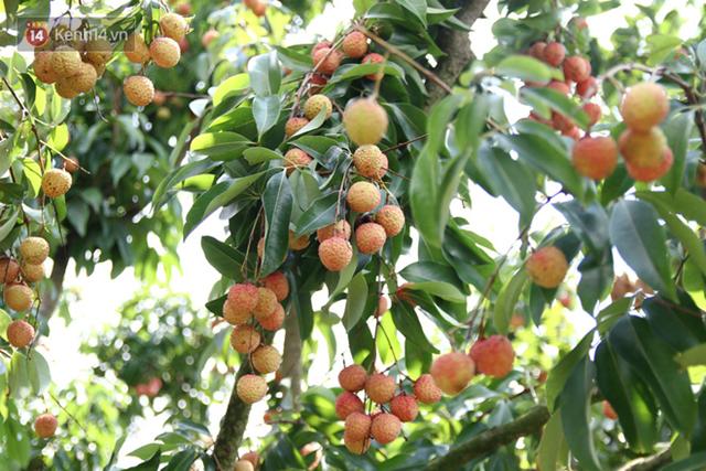 TT  trái cây tuần qua: Vải thiều sớm Lục Ngạn giá tăng cao gấp đôi