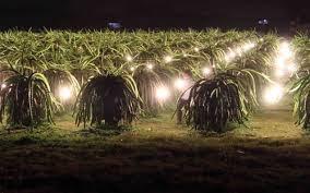 """Tiết kiệm điện trong nông nghiệp: """"Cắt"""" 500 tỷ đồng nhờ đèn compact"""