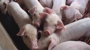 Công ty CP Lebio thu mua đợt lợn 330 con đầu tiên