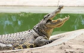 Giá cá sấu tại Đồng Nai giảm mạnh