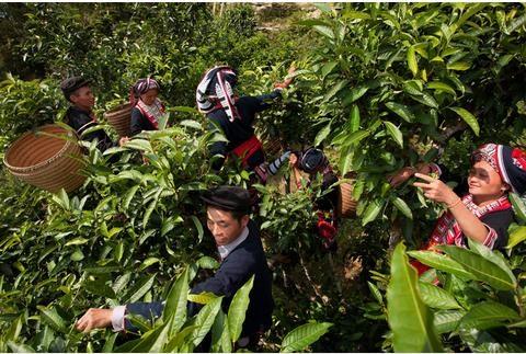 Hà Giang: Nâng cao giá trị cây chè