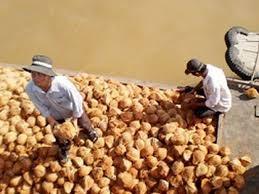 Dừa khô nguyên liệu xuống mức thấp kỷ lục khi Tết Nguyên đán đã gần kề