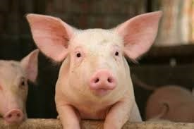 Dịch tả lợn châu Phi có thể tác động đến CPI tháng 3