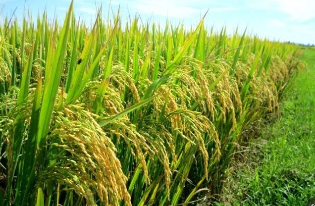 Tình hình sản xuất vụ đông xuân và dự báo sâu bệnh trên lúa