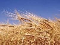 Nhập khẩu lúa mì giảm tháng thứ hai liên tiếp